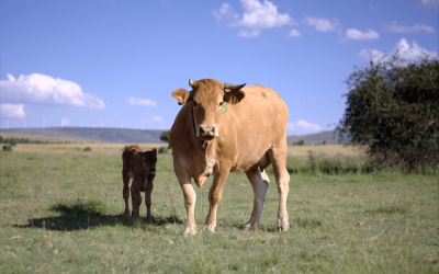 Helping ranchers to better manage their cattle and ensure animal welfare